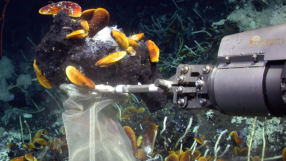 The robotic arm of the remotely operated vehicle MARUM-Quest is shown collecting Cycloclasticus-bearing mussels and oil-rich asphalts at a site of active gas emission in 3000 meters water depth. (MARUM – Center for Marine Environmental Sciences, Universit