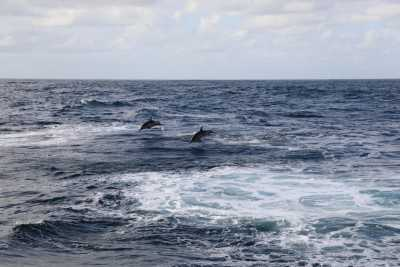 One Day, the RV SONNE came across a pack of dolphins (Photo: Natascha Riedinger)