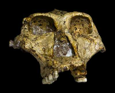 The original complete skull of a 1.8 million years old Paranthropus robustus discovered in South Africa. Collection of the Transvaal Museum, Northern Flagship Institute, Pretoria South Africa. Photo: José Braga, Didier Descouens; Ditsong National Museum of Natural History; licensed under CC BY-SA 4.0 (https://creativecommons.org/licenses/by-sa/4.0/deed.en)