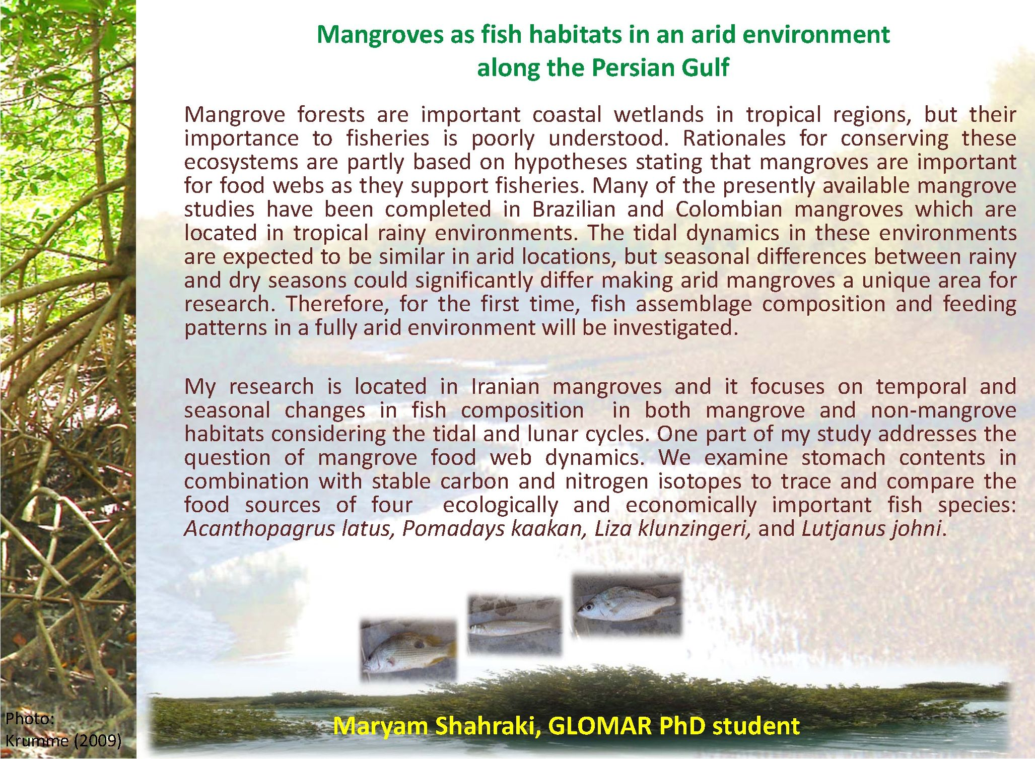 mangroves and their importance Adopt a mangrove project our project will restore mangroves, educate the community about their importance, and will give community members a vested opportunity to be a part of the restoration process serve as a hurricane buffer, conserving 20/20 land for our children and their children.